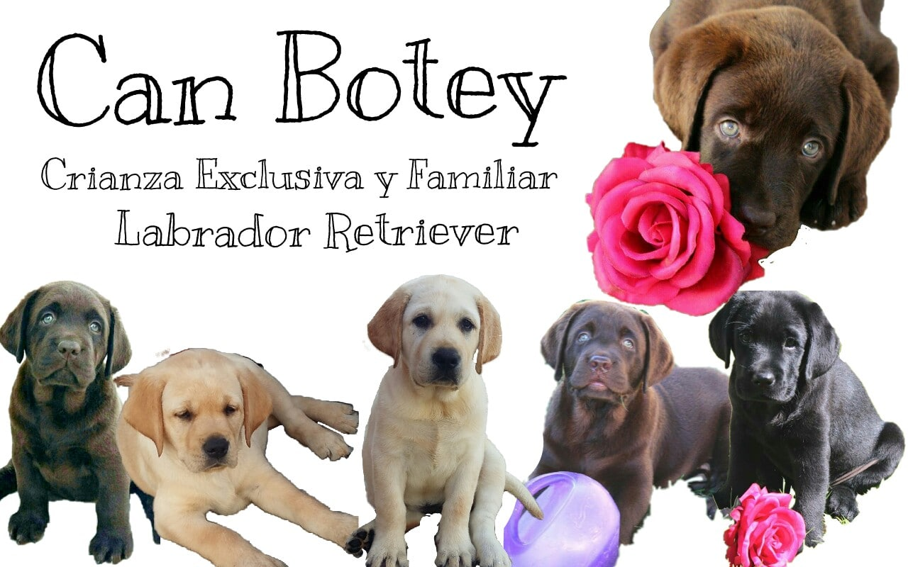 Can Botey | Crianza Familiar Labrador Retriever